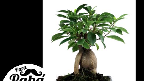 Bonsai Ficus Ginseng De 5 Años Para Papá Descuento 55 125