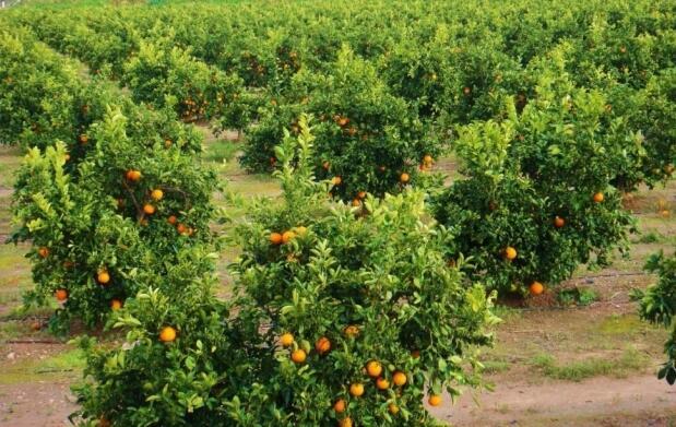 10 ó 15 kg de naranjas ecológicas valencianas