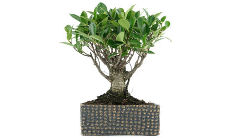 Llévate un bonsái y aprende a cuidarlo